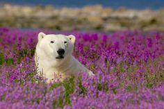 Eisbär in Churchill #merianlovescanada
