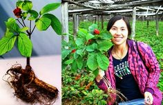 Small Business Ideas | List Of Small Business Ideas: Growing Ginseng to Earn Money | Ginseng Farming Business | Growing Ginseng Medicinal Plant