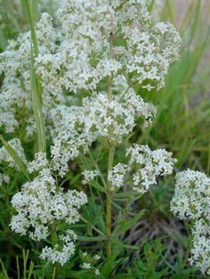 Ahomatara - Galium boreale - Matarakasvit - Vampula-fi- Jari Taivainen