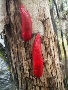 """rhamphotheca: """" Another Look at the Newly Discovered Hot Pink Slug form Australia by Carrie Arnold He's big. He's slimy. And he's … neon pink? graeffei, a new species of. Rainbow Colors, All The Colors, Hot Pink, Wildlife, Creatures, Colours, Snails, South Wales, Aloe Vera"""