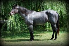 """""""Cole"""" 2000 Blue Roan AQHA/NFQHA registered. homozygous black, blue roan stallion. 89% foundation for NFQHA, Will only produce color with black points! No sorrels/chestnuts. 75% roan producer. Excellent conformation. Pretty mover, clean legged. Rides in a hackamore. Hancock x Blue Valentine. Intelligent, gorgeous, and passes it on! Colts have nice hip, pretty chiseled heads, and tons of sense plus color! He is a great cow horse in his own right and was used in team penning. Pretty Horses, Beautiful Horses, Animals Beautiful, Beautiful Things, American Quarter Horse, Quarter Horses, Horse Coat Colors, Blue Roan, Horse World"""