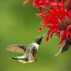 Ruby-Throated Hummingbird With Pretty Red Flowers by Christina Rollo © www.rollosphotos.com. Male Ruby-Throated Hummingbird (Archilochus colubris) in mid-air, feeding on nectar from red monarda (bee balm) flowers.