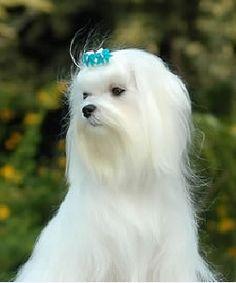 gifs de perros maltes - Buscar con Google
