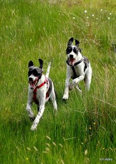 English Pointers are great hunting dogs because they love to run!