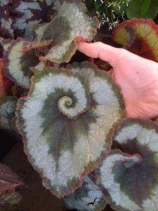 Spiral Leaf
