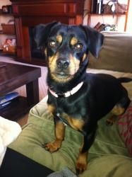 Bree is an #adoptable Dachshund Dog in #EastAurora, #NewYork. Bree is a female 1 1/2 year old 15 pound #Chiweenie (Daschund/Chihuahua mix) who is a local owner surrender due to the family having two children ...