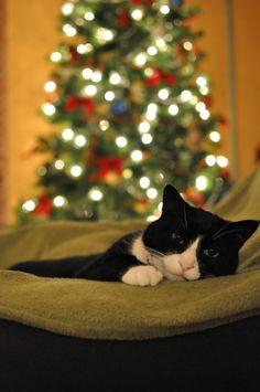 Aiuta il tuo gatto a vivere un Natale perfetto dal suo punto di vista, scopri come! http://www.almonature.eu/almoblog/viva-il-gatto/natale-con-gli-occhi-di-un-gatto/ - Cincinnati's Mr. Darcy, from Todd F. -