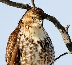 Portrait of a red-tailed hawk at F.A. Seiberling Nature Realm (photo by volunteer Doug Dawes)