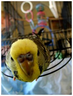 Curious budgie~ Puck, you nut. Stop trying to climb into the camera.