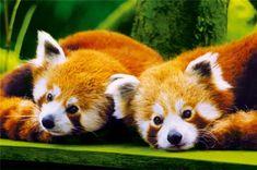Le logo du navigateur web Mozilla Firefox représente un panda roux