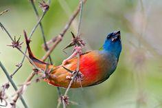 Луковично-зелёная попугайная амадина (еrythrura prasina)