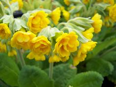 Nursery: Violas and Cottage Garden Plants. Perennial Bulbs, Cottage Garden Plants, Happy Spring, Spring Garden, Perennials, Nursery, Landscape, Nature, Tudor