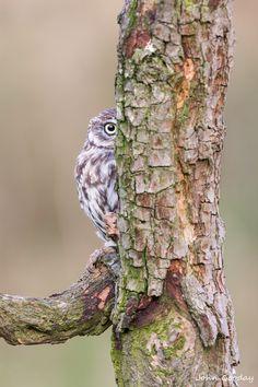 Little Owl (Athene noctua) by John Gooday