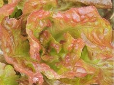 A pre-1885 French heirloom, crisp and tender. The fine flavored leaves have a reddish color.