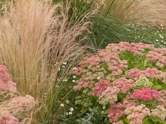 Mexican Feathergrass (alt. pink muhly grass or Karley Rose fountain grass) Autumn Joy Sedum and Mexican fleabane daisy