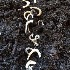 Love these seeds. They look like bones. Or sea horses... #calendula