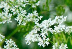 Koiranputki Herbs, Fruit, Nature, Naturaleza, Herb, Nature Illustration, Off Grid, Natural, Medicinal Plants