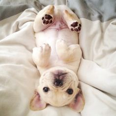 'Oh, hello', French Bulldog Puppy.