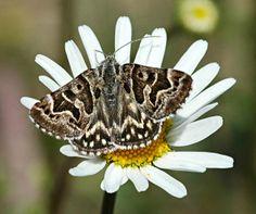 Mi-vlinder (Callistege mi)   Deze nachtvlinder is tamelijk algemeen en vliegt in de zon.
