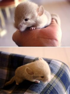 Sep 2019 - 15 Images Of Baby Chinchillas That Will Melt Your Heart - World's largest collection of cat memes and other animals Hamsters, Rodents, Cute Little Animals, Cute Funny Animals, Zoo Animals, Animals And Pets, Chinchilla Cute, Chinchilla Facts, Exotic Pets