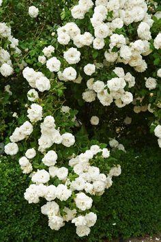 Albaros, Rosa 'Mme Plantier'. Klätterros som doftar mycket och passar i skugga