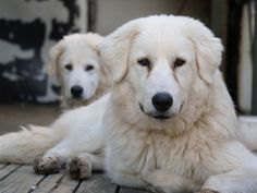 Not a Mastiff! These are Maremmani, a Livestock Guardian Dog from central Italy. Mastiff Breeds, Dog Breeds, Farm Dogs, Sheep Dogs, Dog Pictures, Animal Pictures, Maremma Sheepdog, Great Pyrenees, Hound Dog