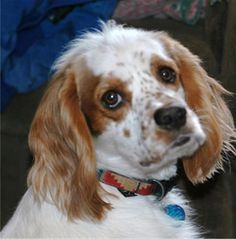Meet Freckles and Patches, an adoptable Cavalier King Charles Spaniel looking for a forever home. If you're looking for a new pet to adopt or want information on how to get involved with adoptable pets, Petfinder.com is a great resource.