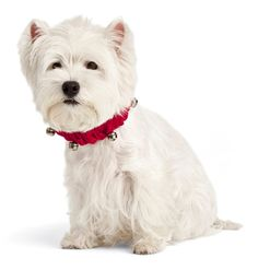 Pinned onto Dogs Clothes & Collars Board in Dog Accessories Category Girls Best Friend, Best Friends, Dogs And Puppies, Doggies, Hound Dog, Westies, Dog Accessories, I Love Dogs, Dapper
