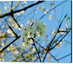 SHADED BLOSSOM Canvas Print featuring the photograph Shaded Blossom by Richard Brookes.  DESCRIPTION: Shaded white cherry tree blossom against a perfect blue sky. Taken in North Devon.  Photo by & copyright Richard Brookes.