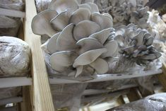 When starting out, it's a good idea to get familiar with the process of growing mushrooms by buying blocks and growing out the fruit bodies. From there, growth can happen as you learn to read the mushrooms. Mushroom Compost, Mushroom Spores, Grow Your Own Mushrooms, Growing Mushrooms, Plastic Shelves, Every Step You Take, Grow Room, How To Grow Taller, Fungi