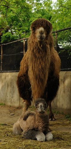 Bactrian Camel Photo by Dave Jenike Alpacas, Wild Life, Beautiful Creatures, Animals Beautiful, Baby Animals, Cute Animals, Bactrian Camel, Camelus, Cincinnati Zoo