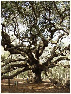 Angel Oak Tree.    Johns Island