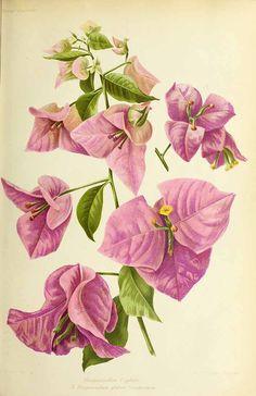 318955 Bougainvillea glabra Choisy / Revue horticole, serié 4, vol. 81: , fig. A (1909)