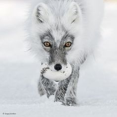 This image by Sergey Gorshkov of Russia, which shows an Arctic fox carrying its trophy from a raid on a snow goose nest, was taken on Wrangel Island in the Russian Far East. Each June, vast flocks of snow geese descend on the tundra to lay their eggs, traveling from 3,000 miles away in British Columbia and California, according to the museum.  Arctic foxes will dine on weak or sick birds, and as the snow geese lay their eggs, the foxes steal up to 40 of them a day.