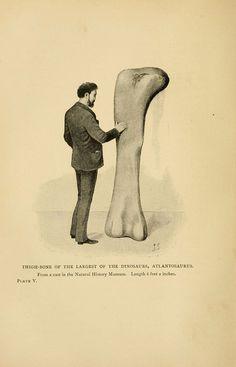 "thighbone of the largest of the dinosaurs, ""atlantosaurus"""