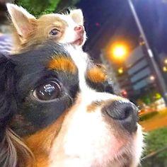: : Morning of the fourth day of the community life Hapy & Colon 4 nights 5 days. : : ハピ&コロン共同生活4日目朝 : 昨夜の真夜中散歩からのpic  ハピの顔が異常にちっちゃい(ノ∀`笑)) : : アニコパークもないから夕方は代々木公園だな🐶🐾 : #cavalier #chihuahua #chihuahuasofinstagram #chihuahuastagram#dog#dogsofstagram#dogstagram #instadog#longcoatchihuahua#pet #chihuahua_feature #east_dog_japan #inutokyo#bestfriends_dogs#チワワ #ロングコートチワワ #愛犬 #愛犬家 #親バカ部 #犬バカ部 #イザベラチワワ #キャバリア #共同生活#仲良し