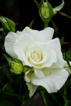 "'White Masterpiece' | Hybrid Tea Rose.Eugene S. ""Gene"" Boerner (United States, 1969) 
