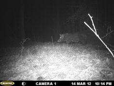 This hog weights approximately 400 pounds. #itsalabama, Hog hunting, Alabama outdoors, hunting, wildlife, Alabama
