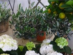 Olive & organge trees with white hydrangea