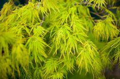 Les érables du Japon proposent des feuillages aux diverses couleurs : rouge, jaune, orange, pourpre, panaché... Découvrez-les : http://www.amenagementdujardin.net/erable-du-japon-caracteristiques-et-varietes/