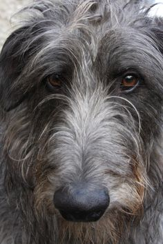 irish wolfhound-one stays at our hotel, she's amazing. very sweet and loves to rub her head on your shoulder XD All Dogs, I Love Dogs, Best Dogs, Cute Dogs, Dogs And Puppies, Doggies, Scottish Deerhound, Irish Wolfhounds, Lurcher