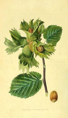 botanical illustration gentiana - Google Search