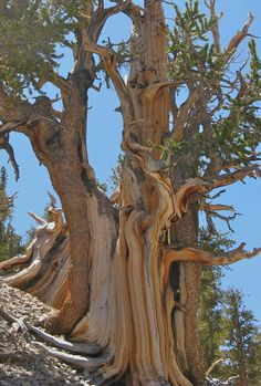 """is down to two strips of bark, one on each side of the tree. Edmund Schulman called them """"life lines"""". Trees To Plant, Trees And Shrubs, Weird Trees, Bristlecone Pine, Pine Trees Forest, Giant Tree, Big Tree, Twisted Tree, Unique Trees"""