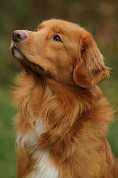 """NOVA SCOTIA DUCK TOLLING RETRIEVER: Smallest of the Retrievers & bred mainly for hunting. Their name comes from their ability to lure waterfowl within gunshot range (""""tolling""""). Intelligent, energetic, good with children"""