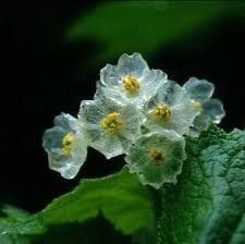 diphylleia grayi flower - Google Search