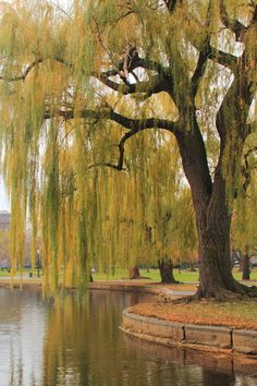http://www.printedart.com/content/weeping-willow    Roupen Baker: Weeping Willow    Available with acrylic finish for a float-on-the-wall display in sizes up to 40 x 60 inches.