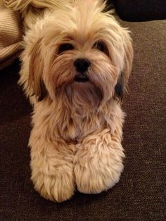 Lhasa apso Brahmi - all cleaned up
