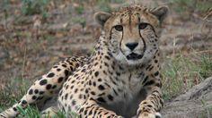Cheetah - close up. SA Wildlife