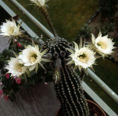 viele blüten-königin der nacht