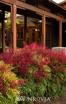 Sienna Sunrise® Heavenly Bamboo foliage turns an intense, fiery red, yellow and orange in the fall/winter. In the spring it occasionally produces small white flowers, and in the summer the foliage turns a lush green. Garden Shrubs, Landscaping Plants, Shade Garden, Landscaping Images, Landscaping Software, Garden Plants, Monrovia Nursery, Bamboo Trellis, Bamboo Hedge